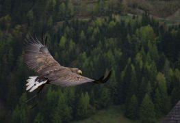 Teures Roaming: Adler treiben Forscher mit SMS fast in den Ruin
